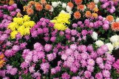 菊花分配为花坛的区域 免版税库存图片