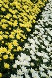 菊花品种自现代温室 免版税图库摄影