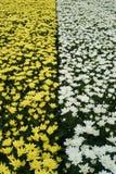 菊花品种自现代温室 免版税库存图片