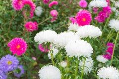菊花在五颜六色的花背景开花  图库摄影