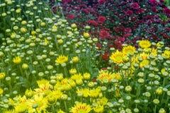 菊花在庭院里 库存图片