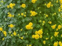 菊花在庭院里 库存照片