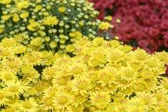 菊花在庭院里 免版税库存图片