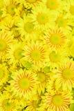 菊花在庭院里 免版税库存照片