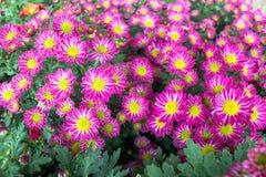 菊花在庭院里 免版税图库摄影
