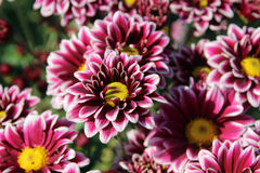 菊花在Nikitskiy植物园里,克里米亚 免版税图库摄影