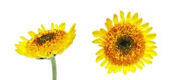菊花头状花序  库存图片