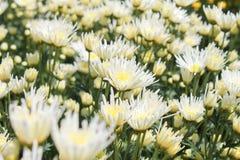 菊花庭院春天白色 免版税图库摄影
