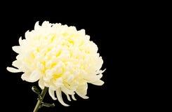 菊花庭院春天白色 免版税库存照片