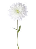 菊花庭院春天白色 图库摄影