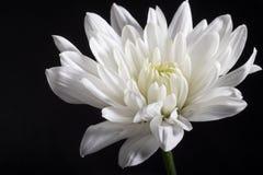 菊花庭院春天白色 库存图片