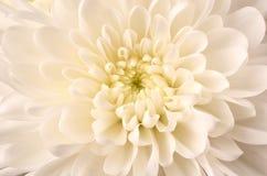 菊花庭院春天白色 库存照片