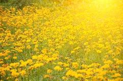 菊花庭院 库存图片