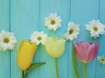 菊花新季节背景问候母亲节美丽的郁金香,在蓝色木背景 库存图片