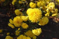 菊花明亮的黄色花在11月 库存照片