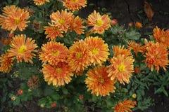 菊花橙色花在10月 库存图片