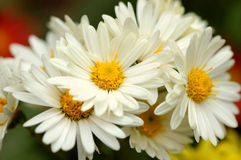 菊花白色 库存图片