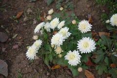 菊花白花在10月 库存照片