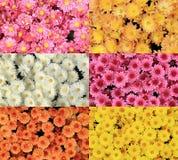 菊花的五颜六色的收藏开花背景 免版税库存图片