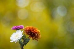 菊花秋天花束在美好的背景的 库存照片