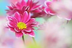 菊花粉红色 免版税库存图片