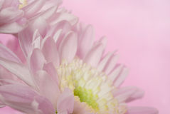 菊花粉红色 库存照片