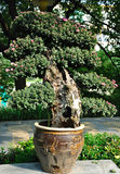 菊花结构树 库存照片