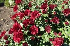 菊花绯红色花在10月 库存图片