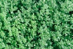 菊花背景 从上面拍摄 植物texur 免版税库存图片