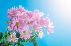菊花花在与空气泡影的水中在蓝色背景的 免版税库存照片