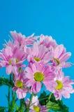 菊花花在与空气泡影的水中在蓝色背景的 免版税图库摄影