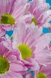 菊花花在与空气,特写镜头泡影的水中  图库摄影