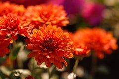菊花花在庭院里 库存照片