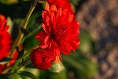 菊花花在庭院里 免版税图库摄影