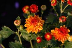 菊花花在庭院里 免版税库存照片