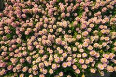 菊花花在庭院里 库存图片