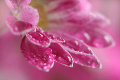 菊花花粉红色 库存照片