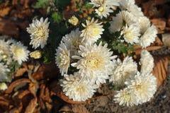 菊花象牙头状花序在11月 库存照片