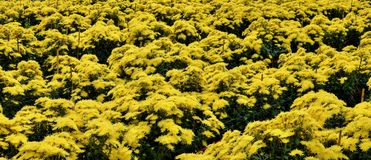 菊花领域在安徽在中国 免版税库存照片
