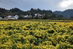 菊花领域在安徽在中国 图库摄影