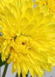 菊花黄色 库存图片
