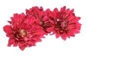 菊花头状花序  库存照片