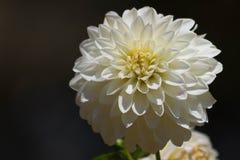 菊花-被留下的拷贝 免版税库存图片