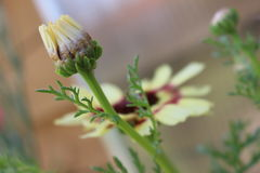 菊花carinatum 库存照片
