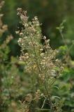 菊花coronarium 库存图片