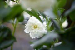 菊花morifolium卖花人` s雏菊,强壮的庭院妈咪 免版税库存照片