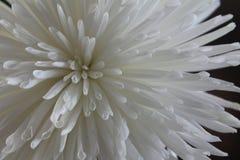 菊花morifolium 库存照片