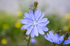 菊苣属intybus,共同的苦苣生茯,绽放的四季不断的草本植物 免版税库存照片