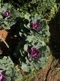 菜园在夏天 草本,花 友好的Eco cabbag 免版税图库摄影