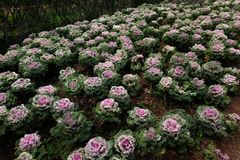 菜园在夏天 草本,花 友好的Eco cabbag 免版税库存照片